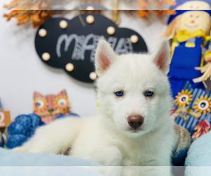 Siberian Husky Puppy for Sale in HESPERIA, California USA