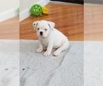 Small #3 Miniature Bulldog