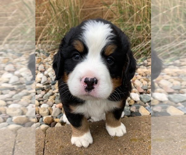 Medium Photo #4 Bernese Mountain Dog Puppy For Sale in WAVERLY, IA, USA