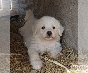 Great Pyrenees Puppy for sale in SHELBYVILLE, TN, USA