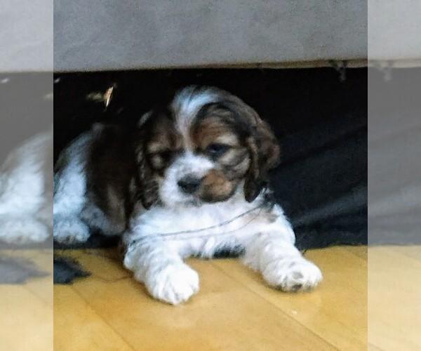 PuppyFinder com - View Ad: Photo #1 of Listing Cocker Spaniel Puppy