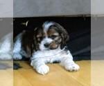 Cocker Spaniel Puppy For Sale in MILACA, MN, USA