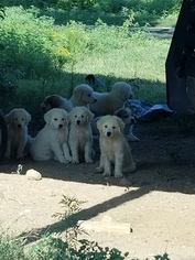 Great Pyrenees Puppy For Sale near 74868, Seminole, OK, USA