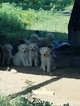 Great Pyrenees Puppy For Sale in SEMINOLE, OK, USA