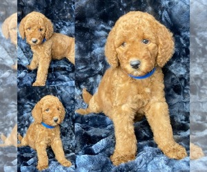 Goldendoodle Puppy for Sale in HOUSTON, Texas USA