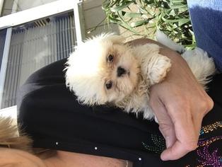 View Ad Shih Tzu Puppy For Sale Virginia Virginia Beach Usa