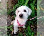 Small #14 Poodle (Miniature) Mix