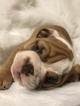 English Bulldog Puppy For Sale in EAST HAVEN, CT, USA
