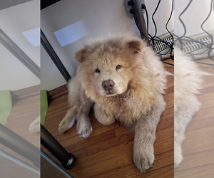 Chow Chow Puppy for Sale in YOUNGSTOWN, Ohio USA