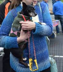 Ami - Chihuahua / Miniature Pinscher / Mixed (short coat) Dog For Adoption