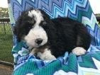 Bernese Mountain Poo Puppy For Sale in EPHRATA, PA, USA