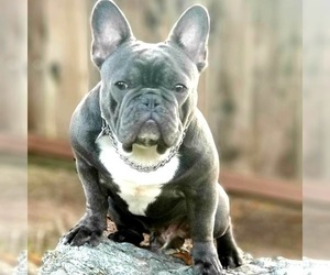 Father of the French Bulldog puppies born on 08/24/2020