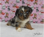 Small Miniature Australian Shepherd