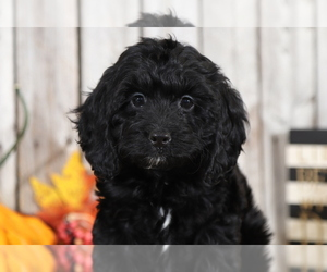 Cocker Spaniel-Poodle (Miniature) Mix Puppy for sale in MOUNT VERNON, OH, USA