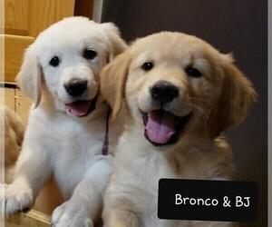 Golden Retriever Puppy for Sale in BENNETT, Colorado USA