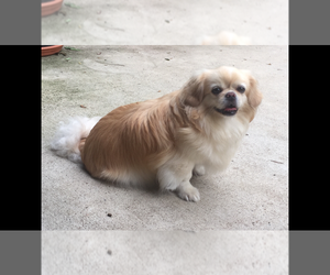 Mother of the Pekingese puppies born on 10/14/2019