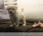 Puppy 3 Poodle (Miniature)-Yorkie-Poo Mix
