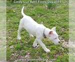 Small Photo #205 Dogo Argentino Puppy For Sale in PINEVILLE, MO, USA