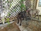 Cane Corso Puppy For Sale in LUND, NV, USA