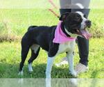 Small #35 American Pit Bull Terrier-American Staffordshire Terrier Mix