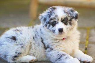 Australian Shepherd Puppy For Sale in SANTA ROSA, CA
