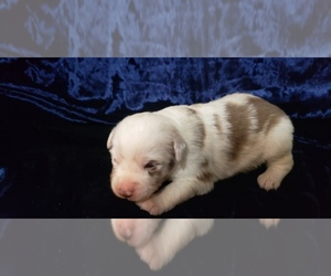 Miniature Australian Shepherd Puppy for sale in BOLCKOW, MO, USA