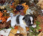 Small #12 Chihuahua