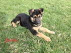 German Shepherd Dog Puppy For Sale in KILLBUCK, Ohio,