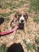 Great Dane Puppy For Sale in PUEBLO, CO