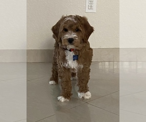 Goldendoodle Puppy for sale in HOMESTEAD, FL, USA
