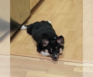 Pembroke Welsh Corgi Dog for Adoption in S SAN FRAN, California USA