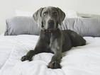 Weimaraner Puppy For Sale in PORT TOWNSEND, WA,