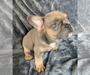 French Bulldog Dog for Adoption in MBORO, Tennessee USA