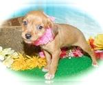 Small #1 Bea-Tzu-Rat Terrier Mix