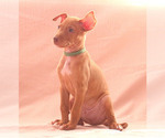 Puppy 6 Pharaoh Hound