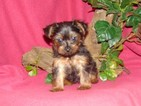 Yorkshire Terrier Puppy For Sale in HARTFORD, AR, USA