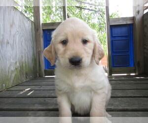 Golden Retriever Puppy for sale in HUDSON, MI, USA