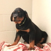 Rottweiler Puppy For Sale in GAP, Pennsylvania,