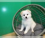 Puppy 2 Maltipom