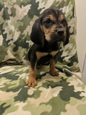 Bloodhound Puppy For Sale in FAYETTEVILLE, NC, USA