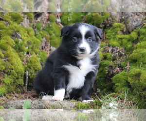 Miniature Australian Shepherd Dog for Adoption in CHEHALIS, Washington USA