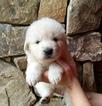 Puppy 4 Maremma Sheepdog