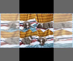 Australian Shepherd Puppy for sale in BLOOMFIELD, MO, USA