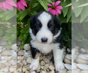 Australian Shepherd Puppy for sale in ALTOONA, PA, USA