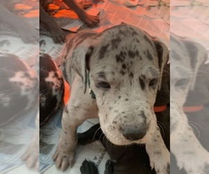 Great Dane Puppy for sale in BOW, NH, USA