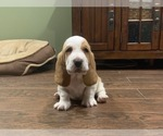 Basset Hound Puppies AKC for Sale
