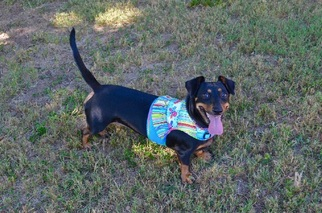 Louise - Dachshund / Mixed Dog For Adoption