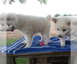 Siberian Husky-Standard Spitz Mix Dog for Adoption in WILLIAMSPORT, Maryland USA