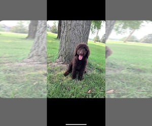 Goldendoodle-Poodle (Standard) Mix Puppy for sale in MOORESVILLE, IN, USA
