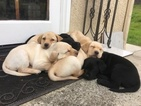 Labrador Retriever Puppy For Sale in ATASCADERO, CA